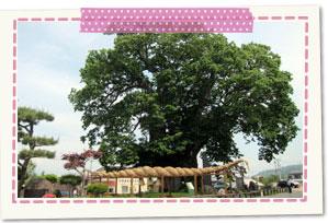 东根的大榉树
