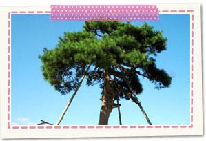 Nabekake pine trees
