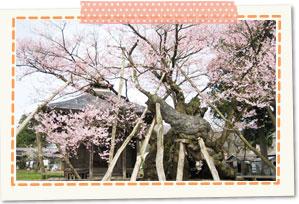 Yakushi zakura