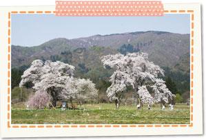 12 cherry trees