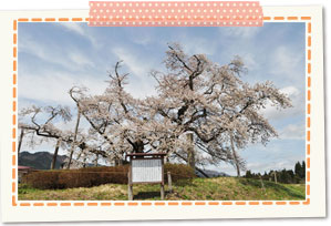Yamaguchi encouragement of study cherry tree