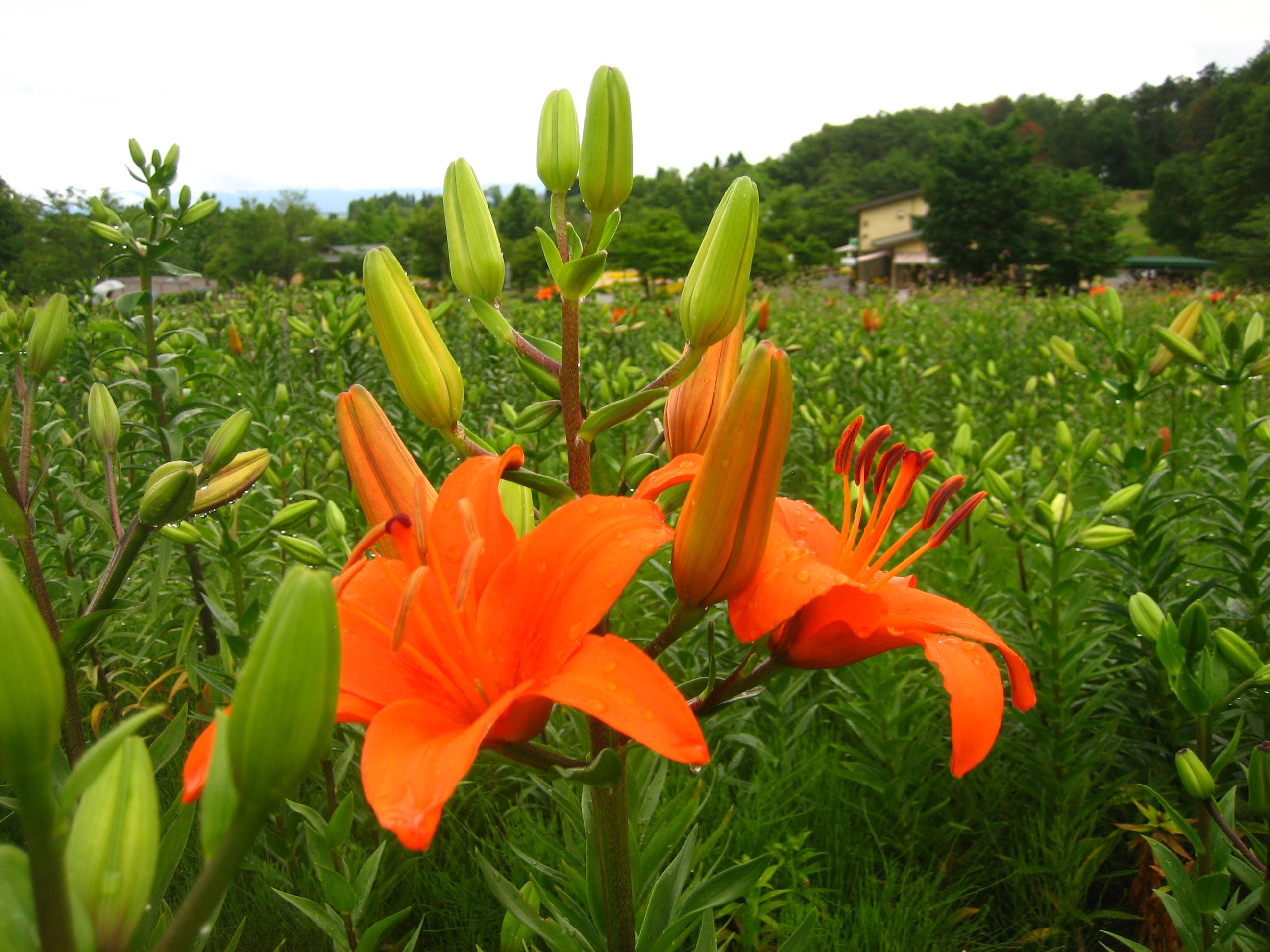 JR東日本駅からハイキング. ゆり香る町いいでと散居集落の田園風景トレッキングに行く:画像