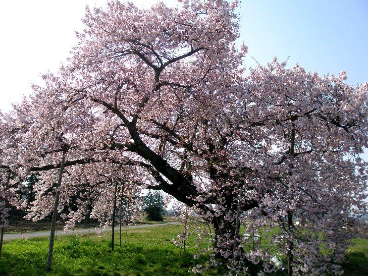 おきたまの桜、満開です (^o^)/:画像