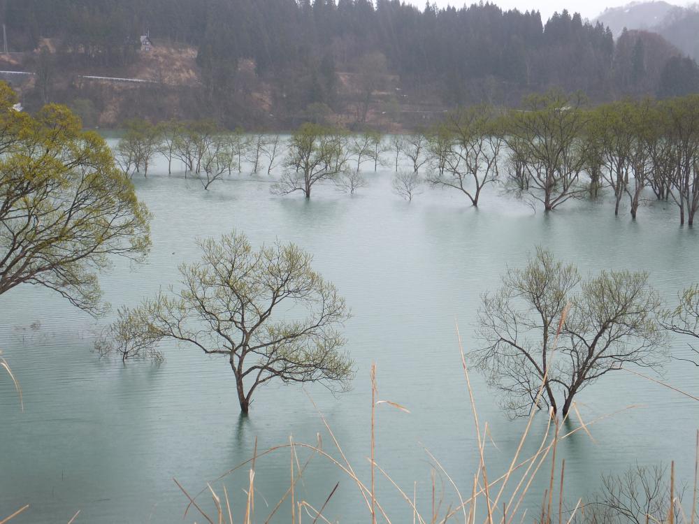 白川湖の水没林も見頃です。:画像