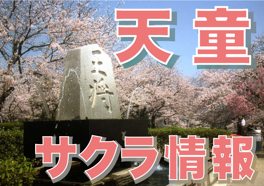 The Tendo cherry tree flowering situation: Image